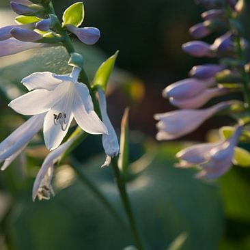 Blumen Schenk