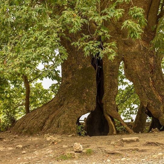 Haut-Karabakh, l'arbre Trnji de 2000ans!