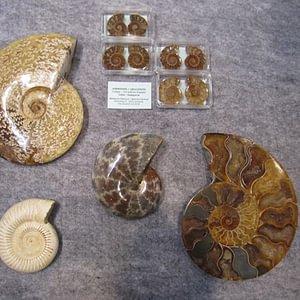 Ammonites du Madagascar