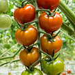 Gutknecht Gemüse in Ried b. Kerzers