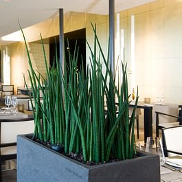 Sansevieria cylindrica in Atelier Vierkant
