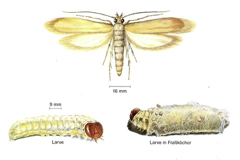Kleidermotte (Tineola bisselliella)