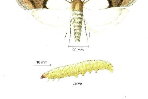 Dörrobstmotte (Plodia interpunctella)