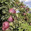 Berner Rosen Apfel