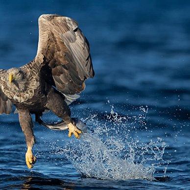 Adler beim Fischen / Erwin Marlin