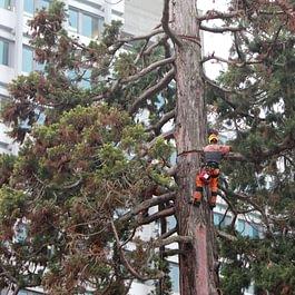 Baum fällen mit Klettern