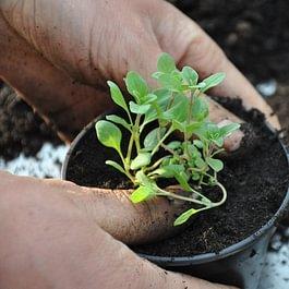 plantons