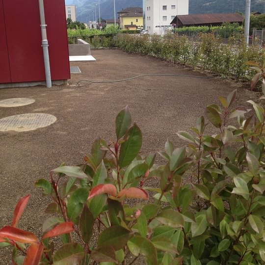 Semina tappeto verde piantagione siepe Biasca