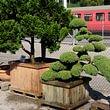 Gartenbonsais und Solitärpflanzen in Spitzenqualität