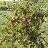 Pflege eines Obstbaums