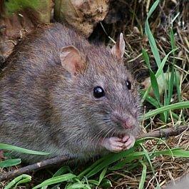 Rattus norvegicus - ratto