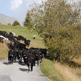 Le troupeau qui change de pâturage