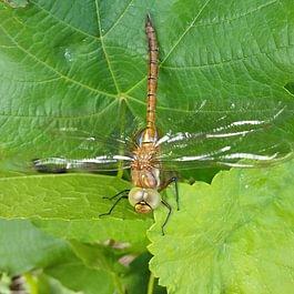 la libellule I die Libelle