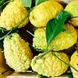Zitronen Cedri