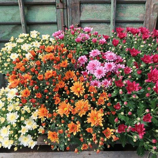 Chrysanthemen in starker Freilandqualität jetzt aktuell