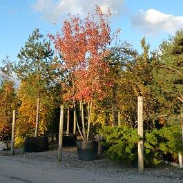 Laubbäume im Verkaufsquartier