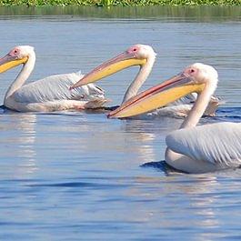 Pelikane im Donau-Delta, Rumänien