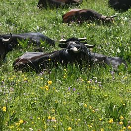 La digestion et le repos du troupeau