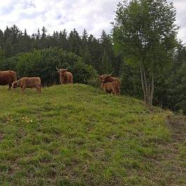 Nos vaches de race Highland