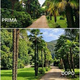 Potatura e pulizia palme - Giardini ArteVerde Sagl