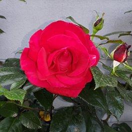 Rosa Rossa - Giardini ArteVerde Sagl