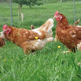 glückliche Hühner Sonnhaldenhof Aargau