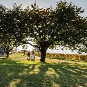 Cerisier de l'Hôpital de Lavaux