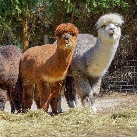 Alpaka Farm alpakable