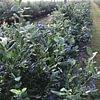 Heidelbeeren2
