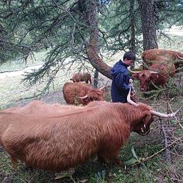 La sociabilisation de nos vaches de race d'Higland