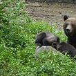Bären-Beobachtung in Rumänien
