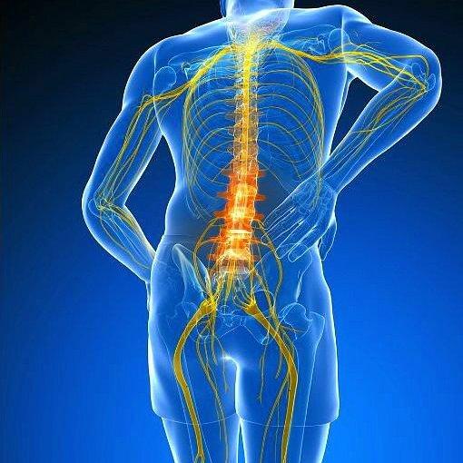 Signale des Gehirns werden über die Spinalnerven an den gesamten Organismus des Menschen geleitet.
