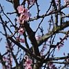 Mandelblüte in der Pflaz