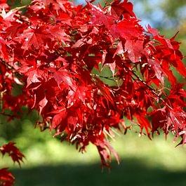 Acer palmatum, Herbstfärbung
