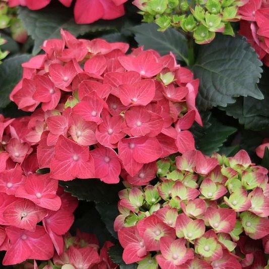 Wunderschöne Hortensien aus Eigenproduktion