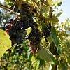 Glesti Weinbau