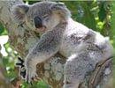 Au Koala Zen