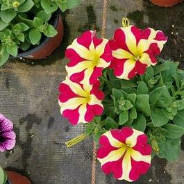 Nos fleurs et plantes d'été arrivent, vous trouverez: Géranium, Bégonia retombant, Bégonia big, Dahlia, Fuchsia soleil, Immortelle, Lavande, Pétunia et bien plus encore. 🌺🌸🌞