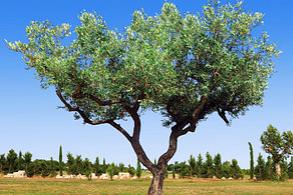 Huile d'Olive de Elche/Alicante