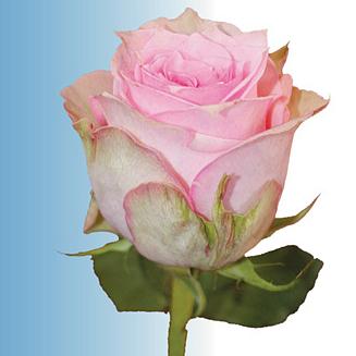 La Rose de l'Adieu
