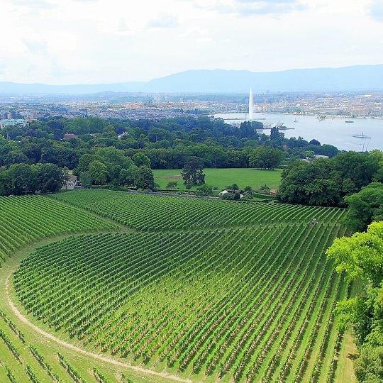 A deux pas de Genève, notre vignoble surplombe la Rade