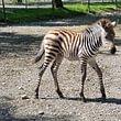Seeteufel_Zebra