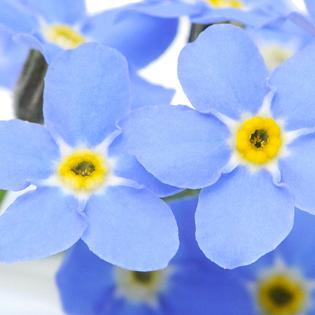 Blumen Vergissmeinnicht