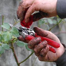 Unsere Gärtner schneiden beispielsweise Rosen fachmännisch zurück