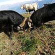 Un combat de nos reines, nos vaches de race d'Hérens