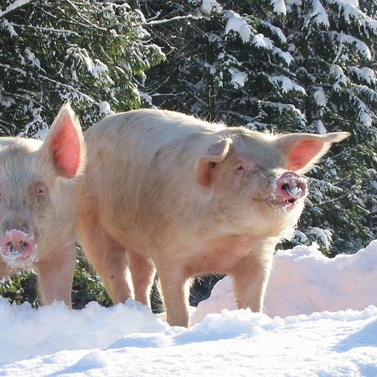 glückliche Schweine vom Hof Farnsburg