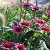 Rabattenbepflanzung, Echinacea & Pennisetum
