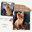 Le toilettage du Chihuahua